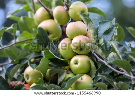 Close-up bunch of beautiful green apples with drops of dew hanging ripening on apple tree branch with green leaves lit by bright summer sun on blurred bokeh blue background. Agriculture concept. #1155466990