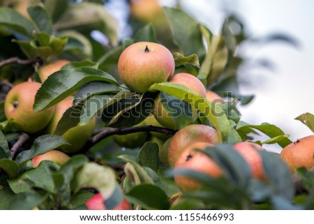 Close-up bunch of beautiful green apples with drops of dew hanging ripening on apple tree branch with green leaves lit by bright summer sun on blurred bokeh blue background. Agriculture concept. #1155466993