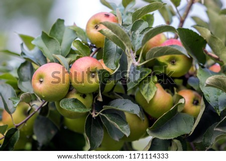 Close-up bunch of beautiful green apples with drops of dew hanging ripening on apple tree branch with green leaves lit by bright summer sun on blurred bokeh blue background. Agriculture concept. #1171114333