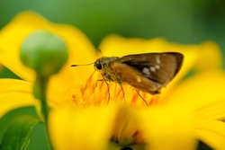 Close up butterfly pollinating on yellow flower. Beauty in nature, symbiotic relationship, symbiotic mutualism, small branded swift, woodland skipper, fiery skipper, Pelopidas mathias
