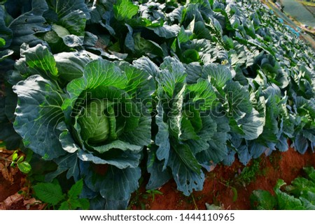 Close-up Cabbage or Brassica oleracea beautiful nature rows of green vegetables in the cultivated area, agriculture in rural areas on the high mountain at Phu Thap Boek, Phetchabun Province, Thailand