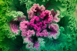 close up cauliflower leaves, fractal natural abstract background
