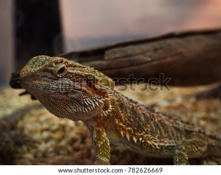 Close Up chameleon , Brown lizard ,  Beauty in nature. (select focus)