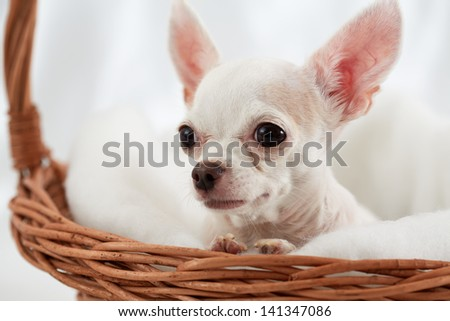 Close-up chihuahua sitting in wicker basket