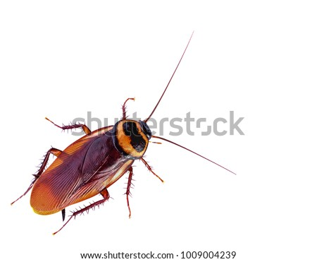 close-up cockroach isolated on white background