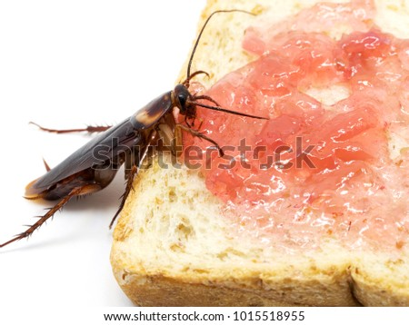 Close up cockroach on the whole wheat bread with red jam.Cockroach eating whole wheat bread on white background(Isolated background). Cockroaches are carriers of the disease.
