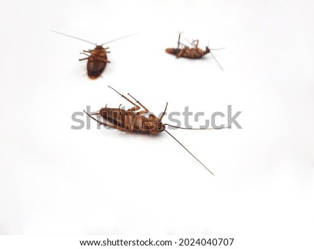close up cockroach on white background., Insect infestation in houses Causing asthma and allergies.  Foto stock ©
