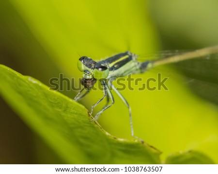 Close up Coenagrionidae Damselfly eating damselfly #1038763507