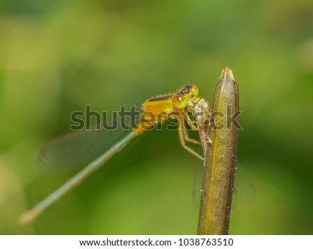 Close up Coenagrionidae Damselfly eating damselfly #1038763510