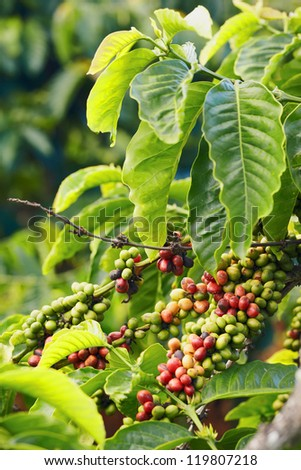 Close up coffee plants tree in mountains province, Vietnam