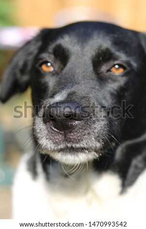 close up collie cross lab picture, extreme close up, black and white dog portrait, unfiltered dog picture, furry, dog with brown eyes