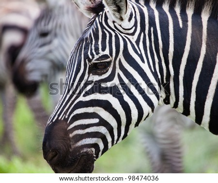 Close Up Color Portrait of Zebra on Serengeti Tanzania Africa