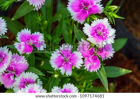 Close up colorful Dianthus flower (Caryophyllaceae)  in garden