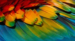 Close up Colorful of Scarlet macaw bird's feathers with red yellow orange and blue shades, exotic nature background and texture