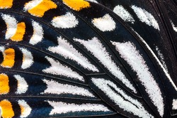 Close-up Common Mime ,Papilio clytia clytia (Linnaeus, 1758), Butterfly wings, butterfly wings detail texture background