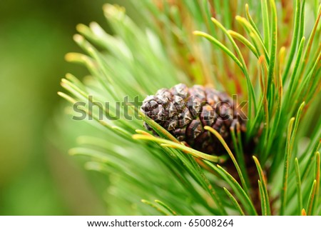 Close up cone on pine, shallow deep of field. Copy text