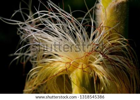 Close-up corn silk #1318545386
