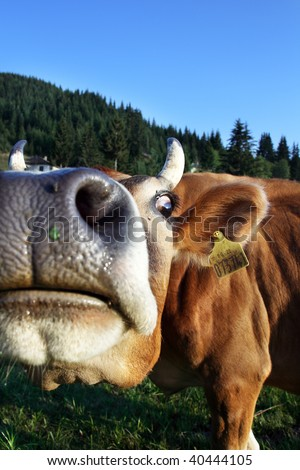 Close up cow portrait in the mountain