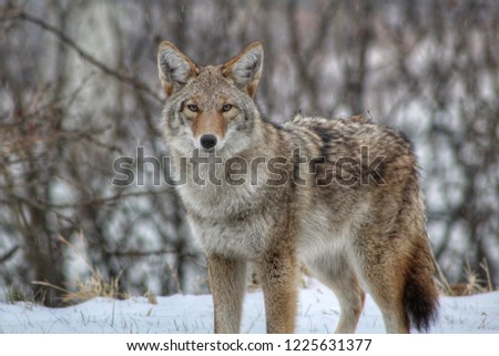 Close Up Coyote