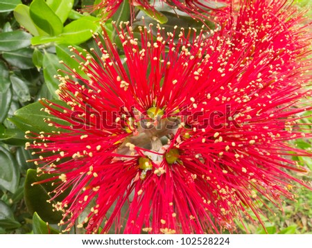 Close-up crimson blossoms of flowering New Zealand tree Pohutukawa, Metrosideros excelsa, also called New Zealand Christmas Tree. #102528224