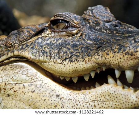 Close up crocodile, crocodile in the wild, scary crocodile with open mouth