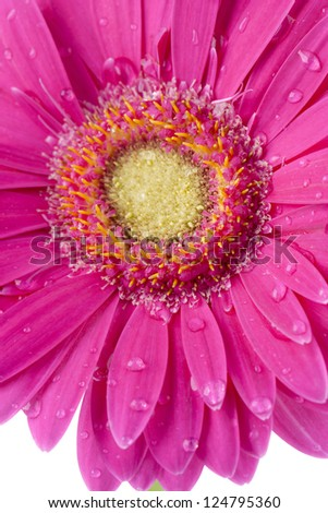Close-up cropped image of watery pink daisy on a white background