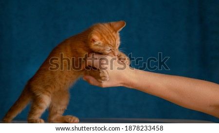 CLOSE UP: Cute baby orange tabby cat grabs its owner hand with sharp little claws and bites it. Adorable shot of a frisky ginger furred kitten playing with unrecognizable woman trying to pet it.