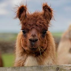 Close up  cute  Llamas in field.