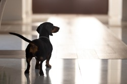 Close up cute pedigree dog, black dachshund with collar standing in hall of modern house alone, rear view, cute adorable pet waiting for owners to return at home, lovely animal
