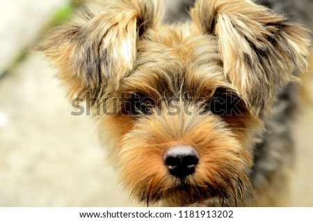 Close up cute picture of a Yorkshire Terrier puppy standing and looking at the camera. Little yorkie dog.