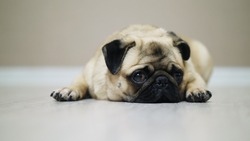 Close-up cute pug dog lies on the floor, falls asleep and looking at camera, tired nd lazy.