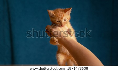 CLOSE UP: Cute shot of a ginger baby cat using its sharp little claws and teeth while playing with unrecognizable woman. Frisky little tabby kitten bites its female owner's hand during their playtime.