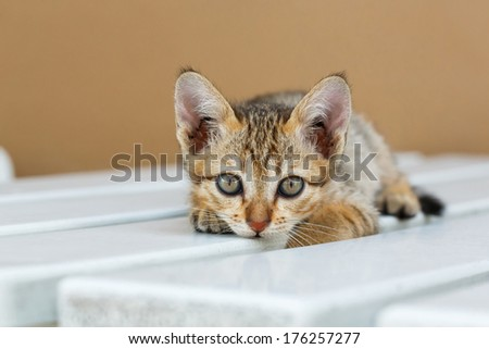 Close up cute Thai small kitten lying on white color wooden table looking at camera #176257277