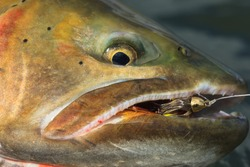 Close-Up Cutthroat