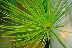 Close up Cyperus prolifer Lamarck with blurred background.