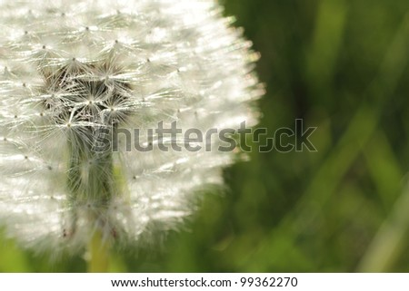 Close up dandelion - stock photo