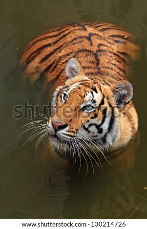 Close up Dangerous Tiger