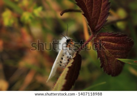 Close up, day time, side view of a White Ermine moth. Latin name Spilosoma lubricipeda. The moth is resting on a young bramble plant. Focus is the head of the insect.