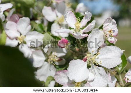 close up: delicate white and pink flowers of an apple tree with stamens in spring in bright sunlight in the shade of green foliage of foliage #1303813414