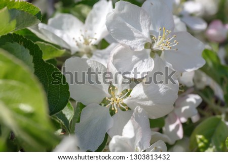 close up: delicate white flowers of an apple tree with stamens in spring in bright sunlight in the shade of green foliage foliage #1303813432