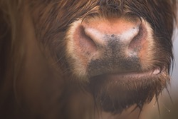 Close-up detail of a highland cow (bos taurus taurus) or hairy coo nose, mouth, nostrils and snout on a wet rainy day at Loch Awe in the Scottish Highlands, Scotland.