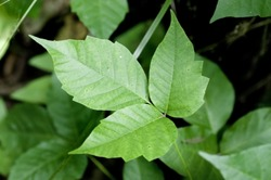 Close up detail of a Poison Ivy Plant.  Excellent high resolution image for accurate plant identification.