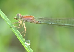 Close up detail of Damselflies.  Damselflies image is wild with blur background. Damselflies isolated. Damselflies are insects of the suborder Zygoptera in the order Odonata