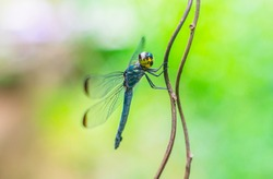 Close up detail of dragonfly. dragonfly image is wild with green background.