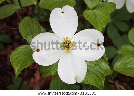 Close-up detail of flowering dogwood blossom.