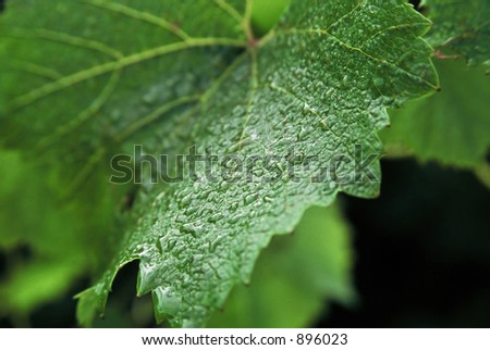 Close up detail of Grape Vine leaf with early morning dew still clinging to the surface of the leaf