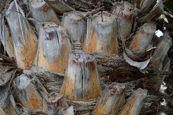 Close Up Detail of Old Leaf Stalks of Date Palm
