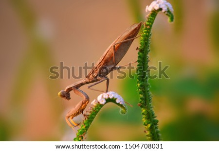 Close up detail of Praying Mantis.  Praying Mantis image is wild with blur background. Praying Mantis isolated on flower. #1504708031