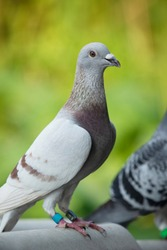 close up detail of rec choco feather color of speed racing pigeon