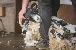 Close-up detail of sheep shearing as a shearer shears the wool off a male Scottish Blackface sheep ram (Ovis Aries) as part of rural farm life.